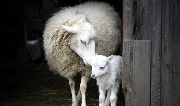 sheep-and-lamb