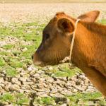 global-warming-cow